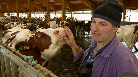 Eine Kuh im Stall riecht an der Hand vom Bauern